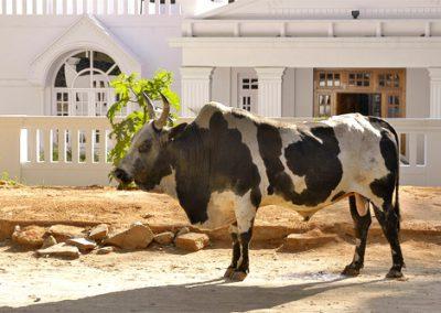 Mysore-Bulle-500